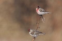 冬鳥  ベニヒワ