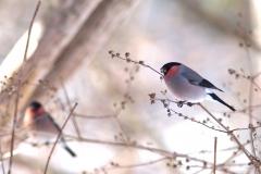 冬鳥  ウソ ( オス )