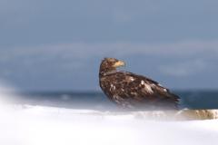 冬鳥  オジロワシ