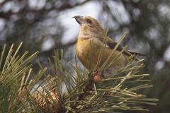 冬鳥  イスカ(メス)