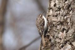 留鳥  キバシリ