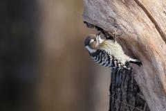 留鳥  コゲラ