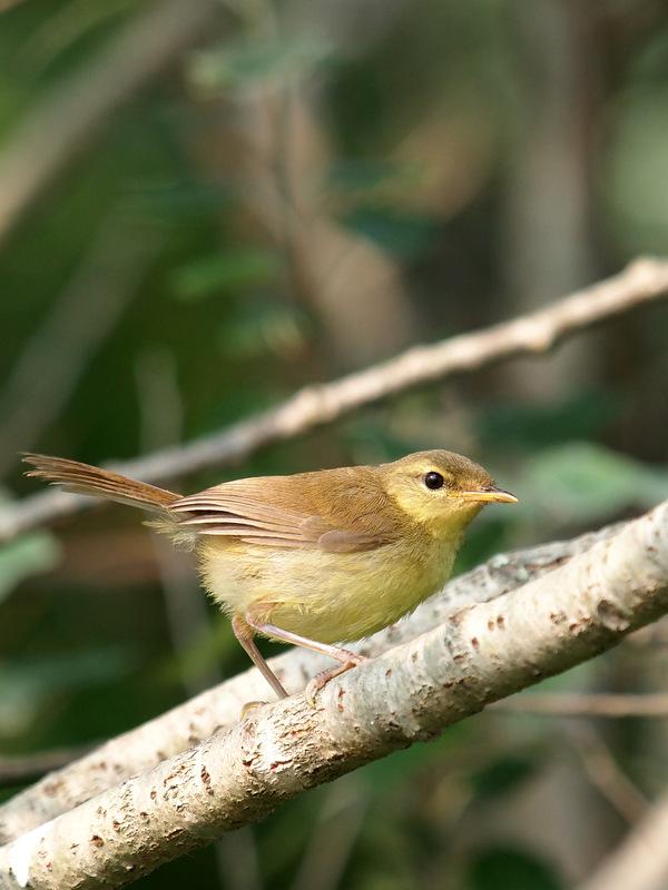 ウグイス幼鳥