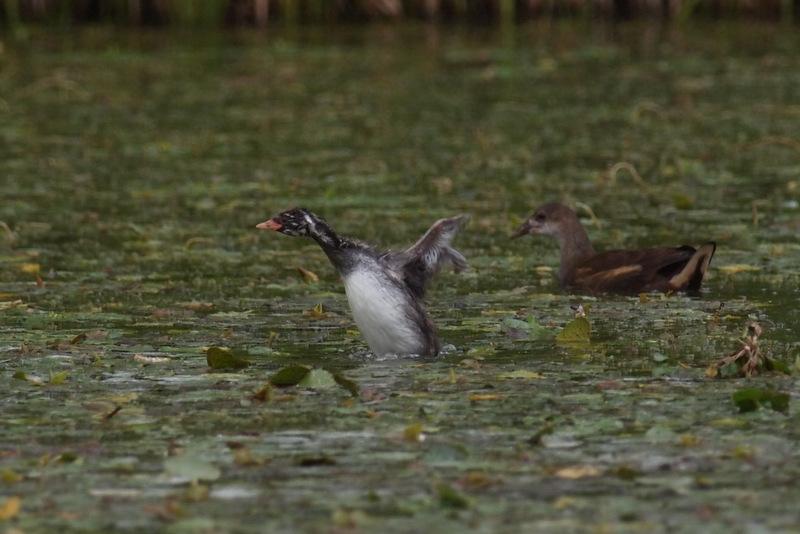 左)カイツブリ幼鳥 右)バン若鳥