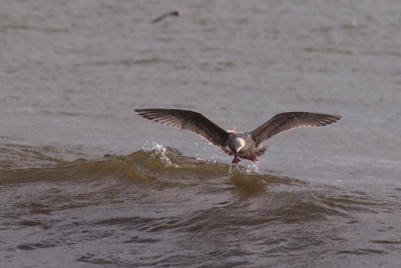 オオセグロカモメ 若鳥