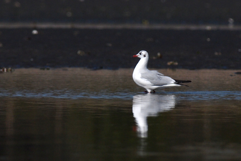 ユリカモメ(冬羽)  チドリ目 カモメ科